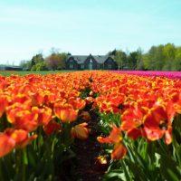 «Тюльпановая лихорадка» в Голландии